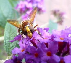 hoornaar: grote wespensoort uitkijken geblazen #buienradar