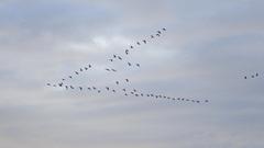 Trekvogels op weg naar het zuiden. #buienradar