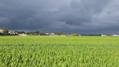 Donkere wolken boven de groene bollenvelden. #buienradar