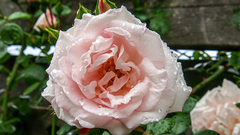De rozen staan er ook na de regen mooi bij #buienradar #zomer #tuin