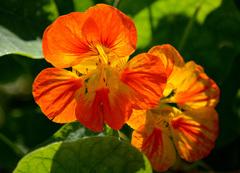 Ook op Maandag 27 Oktober,stond deze prachtige Oost-Indische kers nog in bloei!Wat toch uitzonderlijk is voor de tijd van het jaar! #buienradar