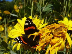 Atalanta kleurt mooi op de gele zonnebloemen #buienradar