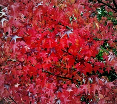 'Herfst met  het  mooiste rood gekleurd. #buienradar