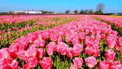 Ook deze tulpen zijn verdwenen...en wat stonden ze mooi....Sassenheim #buienradar