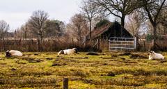 Helaas weinig zon in #Dwingeloo maar dat maakt deze schapen weinig uit #buienradar #lente #zon #wolken