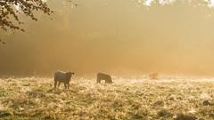 Koeien in het vochtige gras  #buienradar